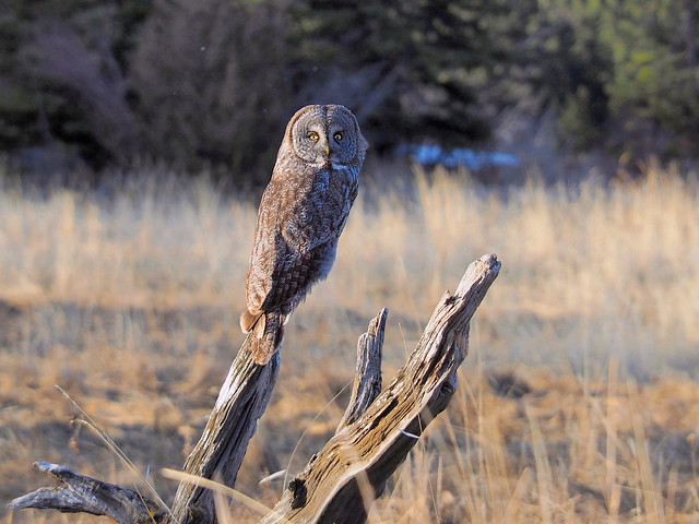 owl on the lookout