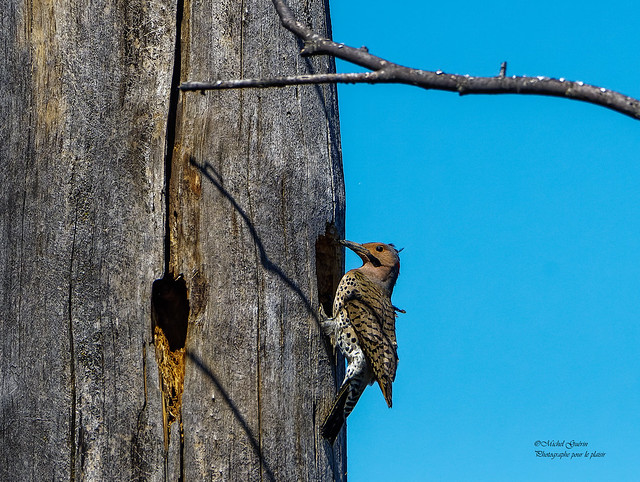 Pic Flamboyant - Northern Flicker - Colaptes auratus