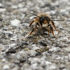 A sugary drink for a weary mason bee