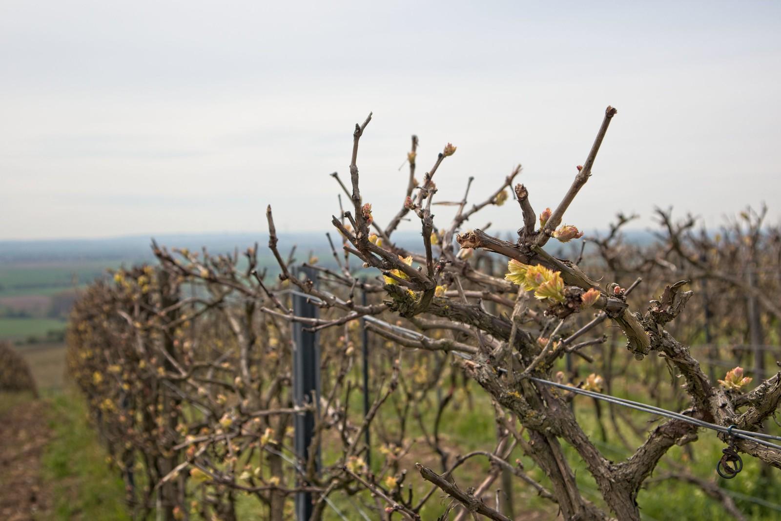 Frühling in den Weinbergen von Rheinhessen