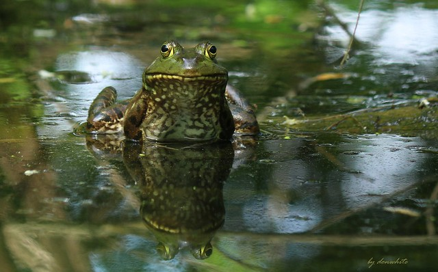 good frog