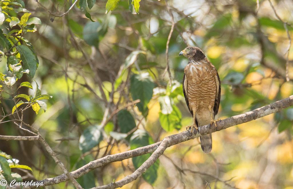 Busardo caminero, Rupornis magnirostris, Roadside hawk