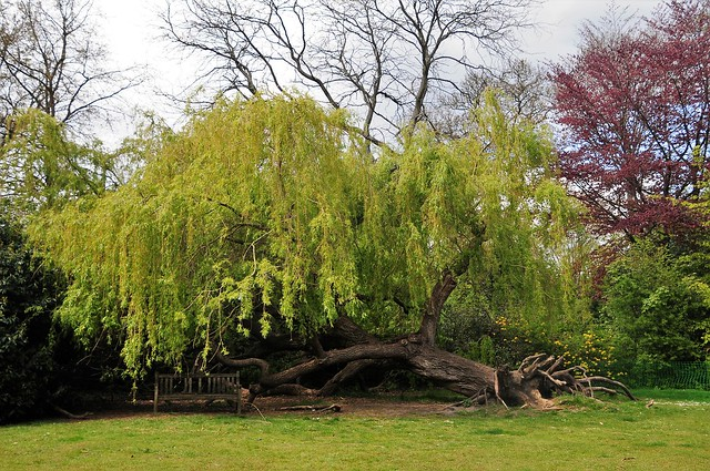 An Uprooted Willow Tree