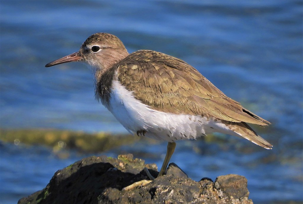 Spotted Sandpiper at Heron's Head