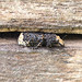 Scarce fungus weevil_9535