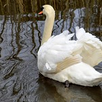 Fluffed up swan on the canal