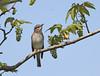 Spotted Flycatcher at Purdown, Bristol.