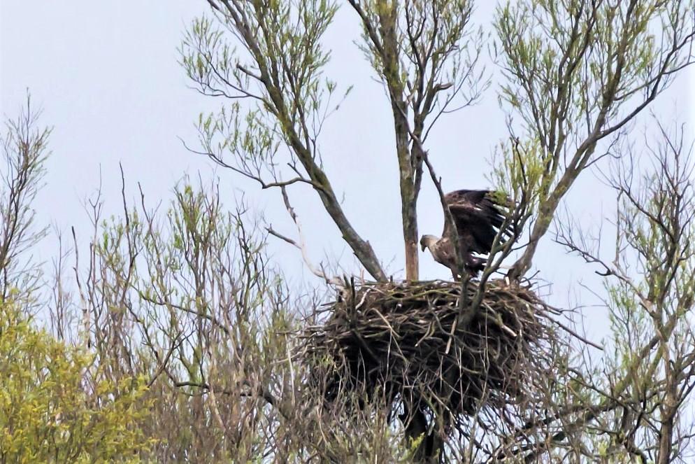 Zeearend op het nest.