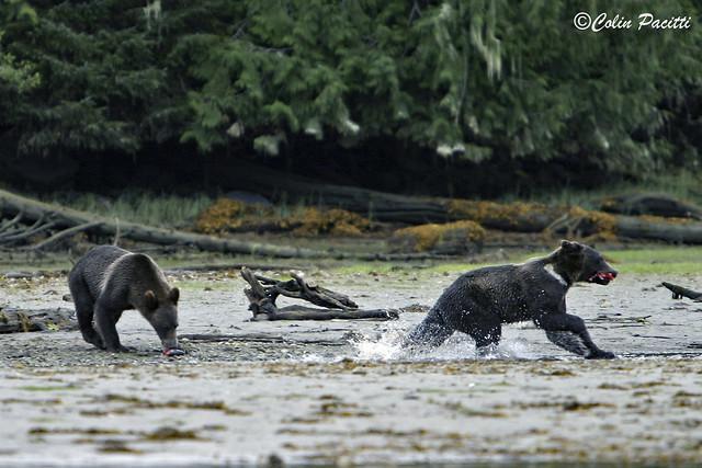 hunting sockeye salmon