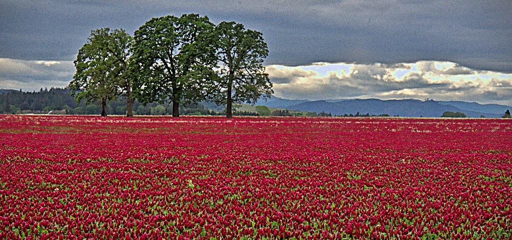 Crimson clover and four Oaks  5 8 2021