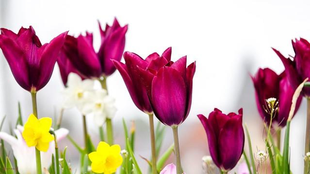 9718 - Les Tulipes