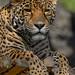 "<p><a href=""https://www.flickr.com/people/154721682@N04/"">Joseph Deems</a> posted a photo:</p>  <p><a href=""https://www.flickr.com/photos/154721682@N04/51168165873/"" title=""Jaguar""><img src=""https://live.staticflickr.com/65535/51168165873_13de142aef_m.jpg"" width=""177"" height=""240"" alt=""Jaguar"" /></a></p>  <p>Fort Worth Zoo</p>"