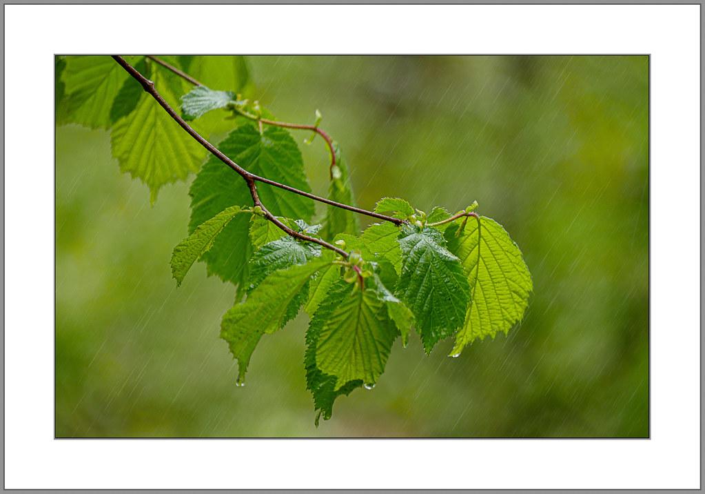 Mairegen (Rain in May)