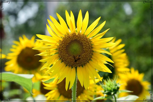 The buzz in the sunflower garden!(EXPLORED)