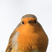 Rougegorge familier - Erithacus rubecula- - European Robin-313.jpg