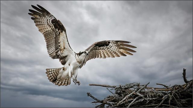 (c)WMH_2021_05_05_1366 Osprey