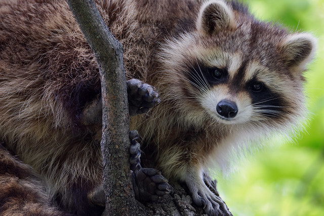 Raccoon eye contact