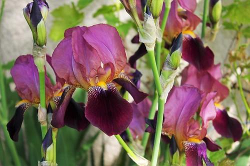 Iris 'Voltigeur' - Ferdinand Cayeux 1934 51168285310_65d5b34b77
