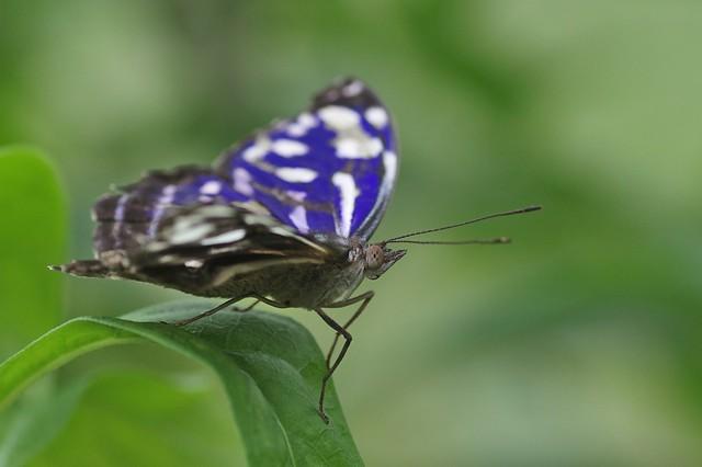 Blue Wave Butterfly - Myscelia cyaniris