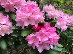 Remarkably Rhododendrons