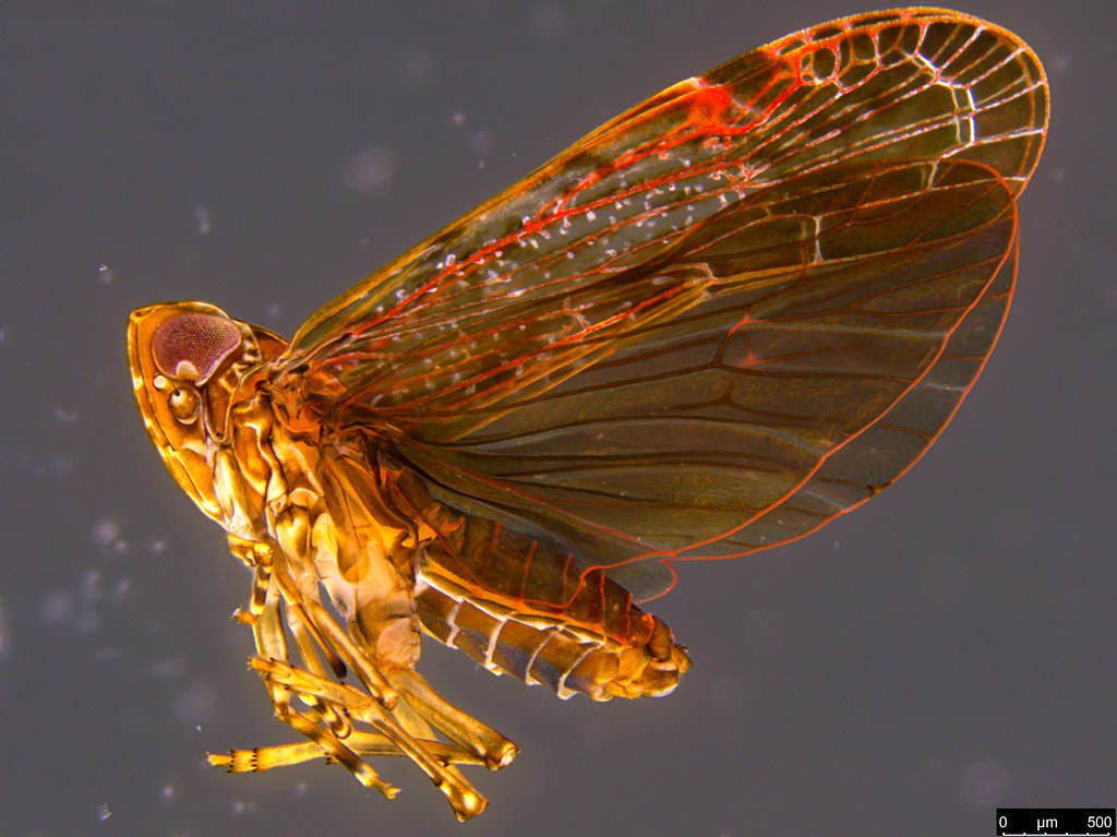 13 - Hemiptera sp.