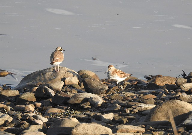 Little Ringed Plover and Dunlin