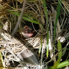 Happy Mother's day! House finches hatched today at the inlaws! New birdie mama! #naturephotography #birdsofinstagram #birdstagram