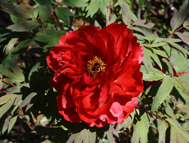 Red Peony with Guest