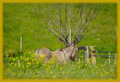 Deer or Donkey ?