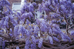 Wisteria, May 2021