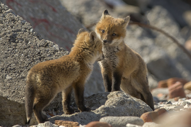 Fox Kits at Play | Tommy Thompson Park