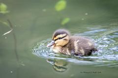 Duckling cuteness ud83dude0d