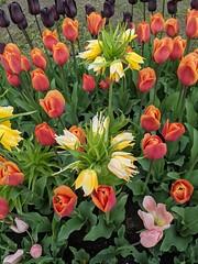 Tulip Festival, Albany NY. 2021.