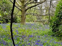 Bluebells Ebernoe, West Sussex 29/4/21