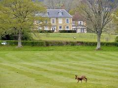 Deer, Lickfold, West Sussex 3/5/21