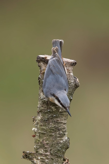 'Nuthatch - the acrobats of the birding world!'