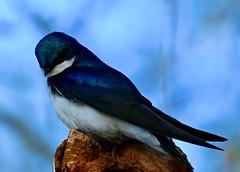 Tree Swallow 5/9/2021