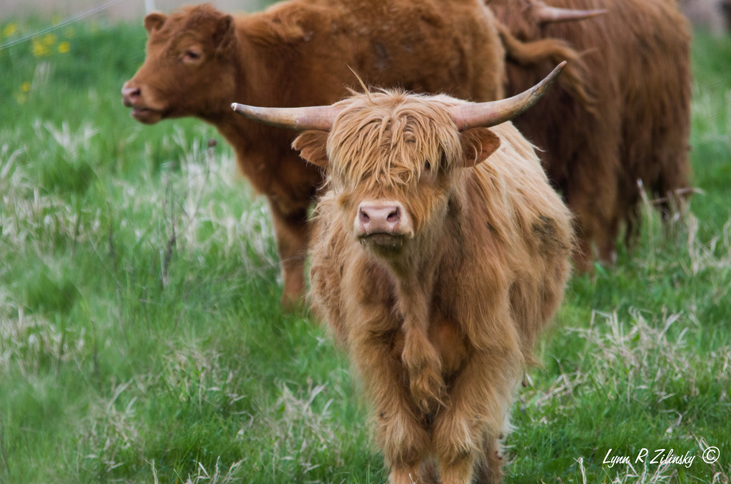 521_0228  Highland Cows  Highland Spring Farm, 2586 Lalor Road, Oregon, WI