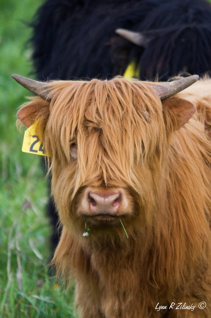 521_0219  Highland Cow   Highland Spring Farm, 2586 Lalor Road, Oregon, WI