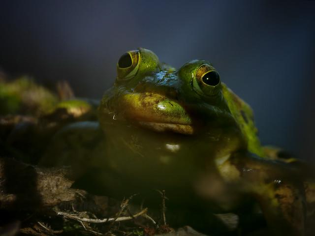 Laubfrosch - Tree Frog