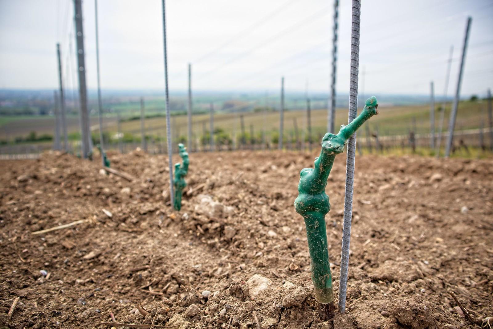 Frühling in den Weinbergen von Rheinhessen: Rebstock-Setzling