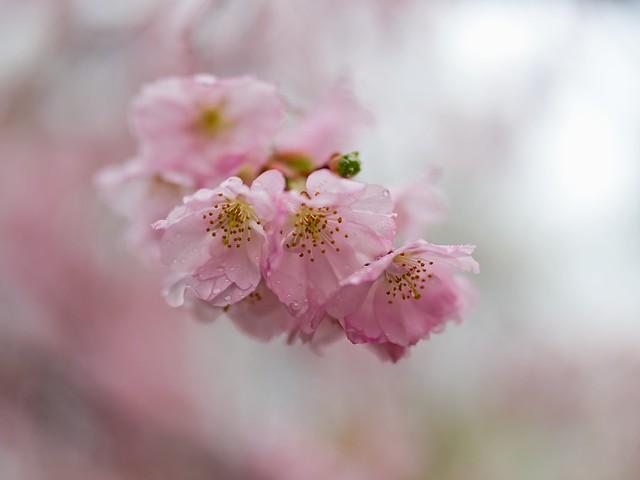 210411 Sakura 564 (stock) - Flickr
