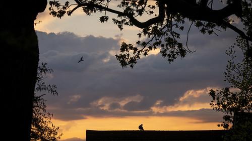365 0905 sunrise silhouette tree branch bird pigeon roof