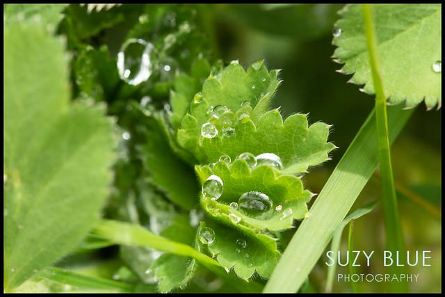 Alchemilla droplets