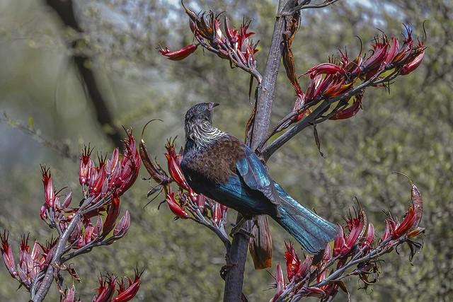 New Zealand native Tui  IMG_3336    Explored