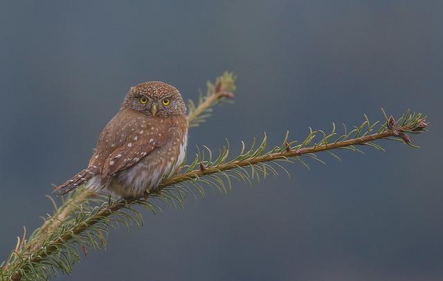Northern Pygmy Owl 8R1A7016