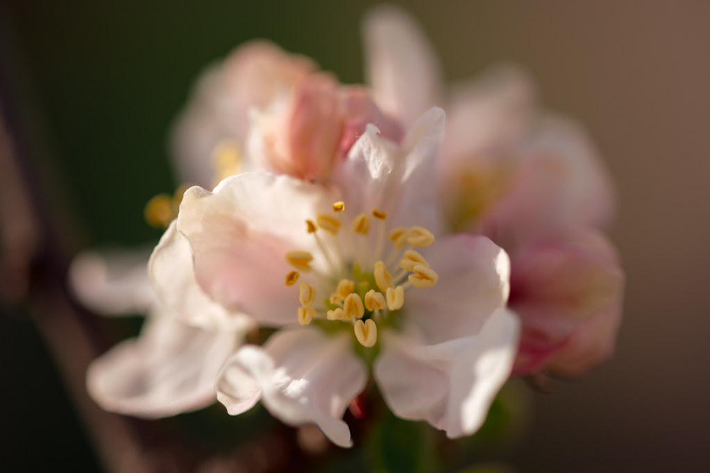 Close-up of the stamens on an apple flower