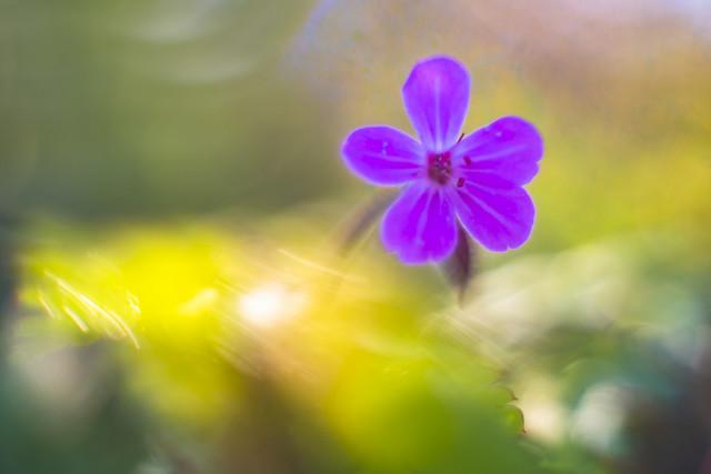 Robertskruid .( Geranium robertianum)