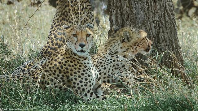 Guépard ,,  Cheetah ,,,,  Tanzania