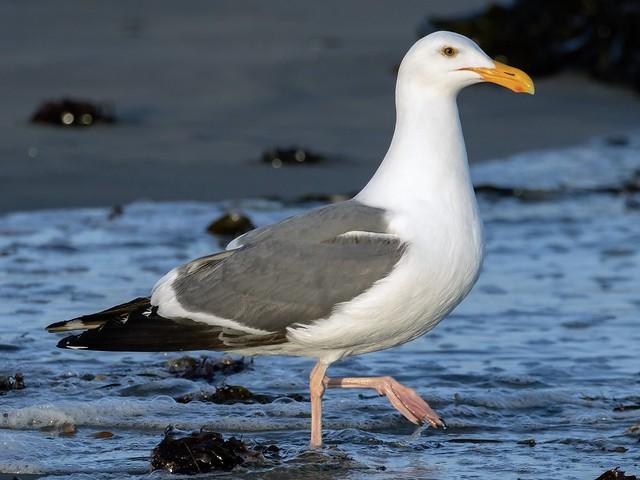 Western Gull, Main Beach
